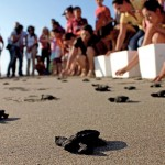 Protegen tortugas en Colima.