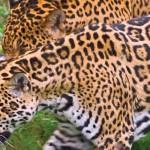 Protegen al Jaguar del Norte