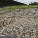 MUEREN MILES DE PECES EN LAGUNA DE TLAJOMULCO