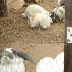 Niños de San Dimas fueron afectados por 'Fiebre del Conejo'