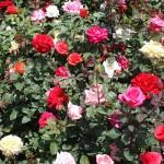 Municipios de Puebla exportarán rosas patentadas