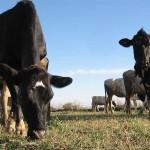 Aumenta el robo de ganado en Amealco y Tequisquiapan