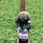 Migrantes jornaleros, a regularizarse
