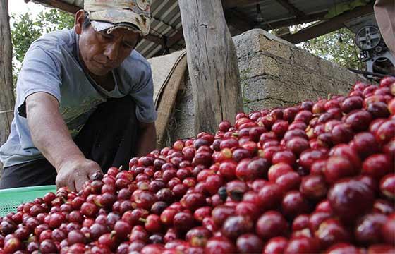 Riesgo_produccion_cafe_Oaxaca_Alcaldes_de_Mexico