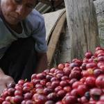 En riesgo 80% de producción cafetaleraen Oaxaca por plaga
