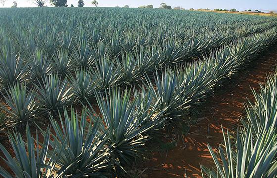 evitaran_ilegalidad_tequila_Alcaldes_de_México