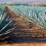 Jalisco proveerá a Chiapas de 4 millones de plantas de agave