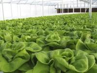 Problema alimentario en zonas áridas se resolvería con hidroponía