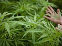 La SCJN valida el uso recreativo de la marihuana