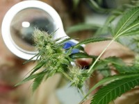 Panorama legal de la droga ilegal