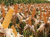 El maíz y el negocio de la especulación
