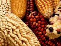 Prohibir uso de maíz transgénico en México, propone Diputado