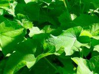 Llevarán bionergía a comunidades rurales de Sinaloa